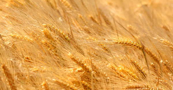 A life without wheat
