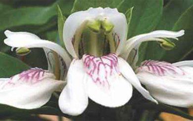 Booti of the Month :  Vasaka/Malabar nut