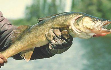 Fish Feel Pain