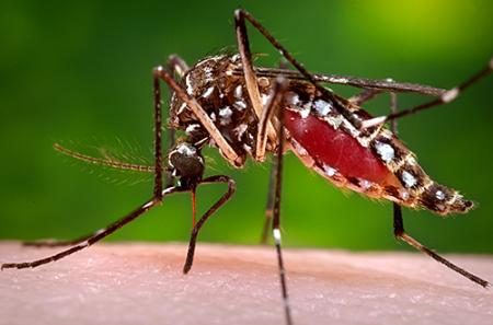 Dengue Mos - Ayush treatment management in dengue is simple and effective